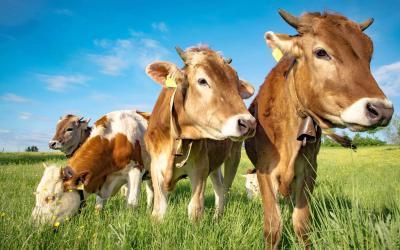 Schweizer Bauern testen Pflanzenkohle im Stall