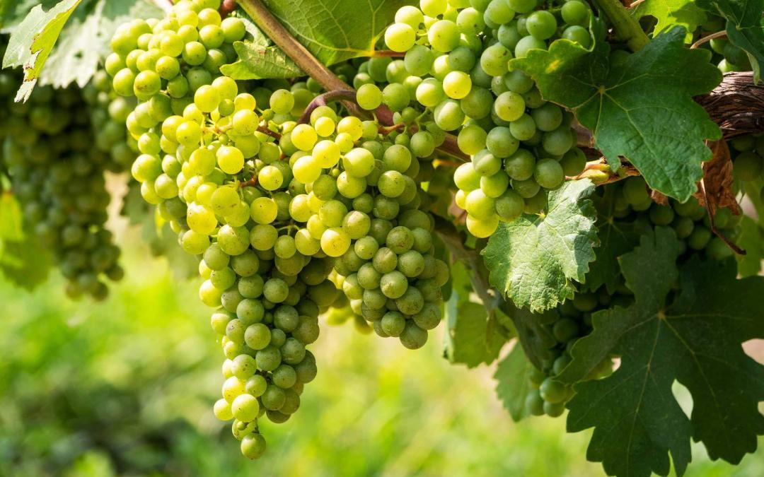 Less leach­ing and higher yields in the vine­yard